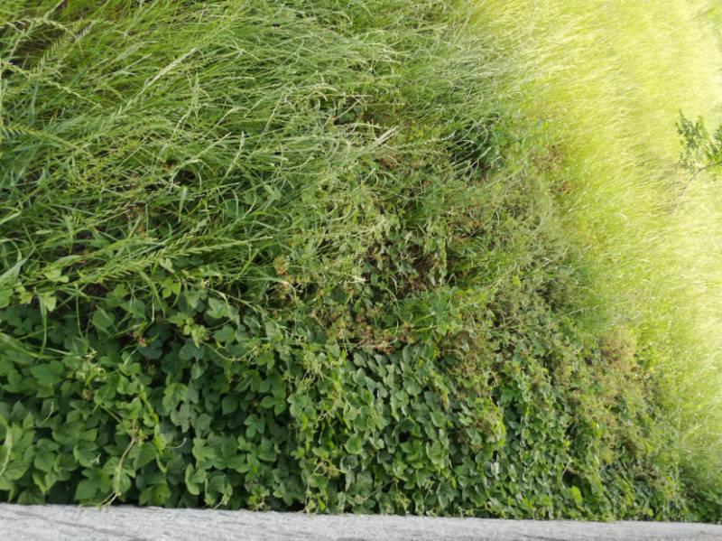 2018年5月の除草作業 琉球朝顔