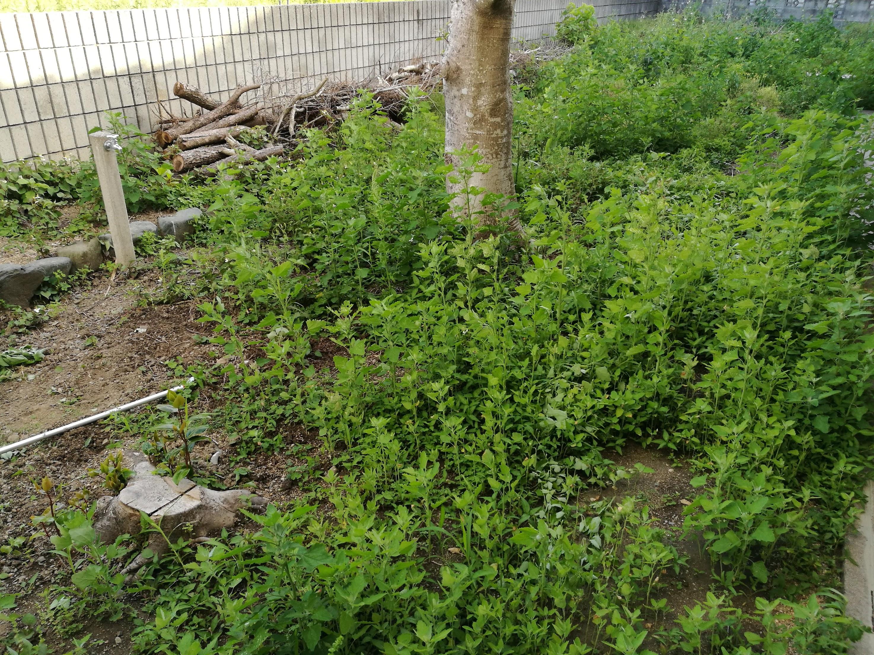 除草剤(グリホサート系格安液タイプ&ネコソギ粒タイプ)の効果 夏 横庭 -1-