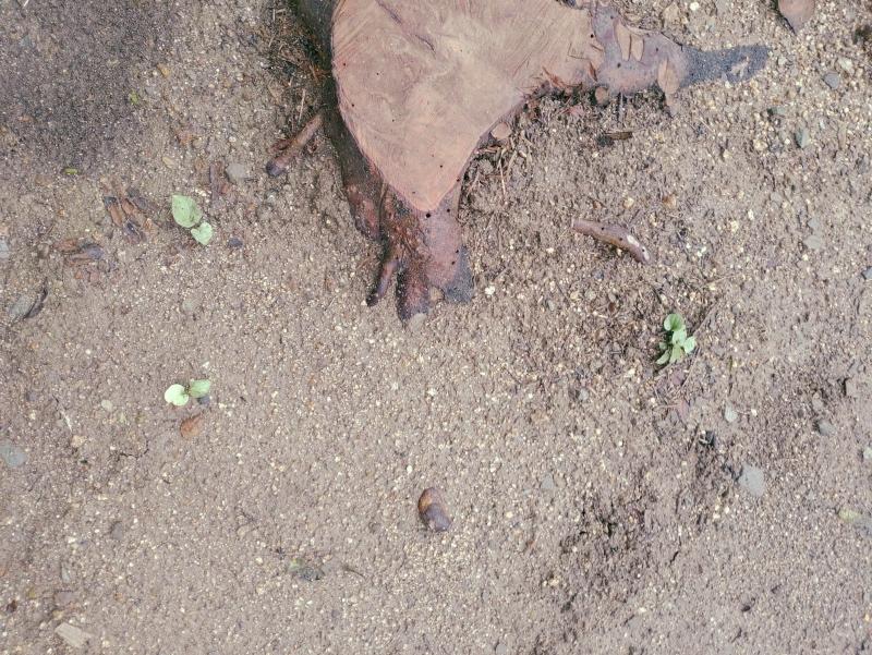 除草剤の効果 ネコソギ 粒タイプ -1-
