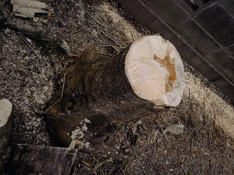 モチノキ(黐の木)の伐採 -6-