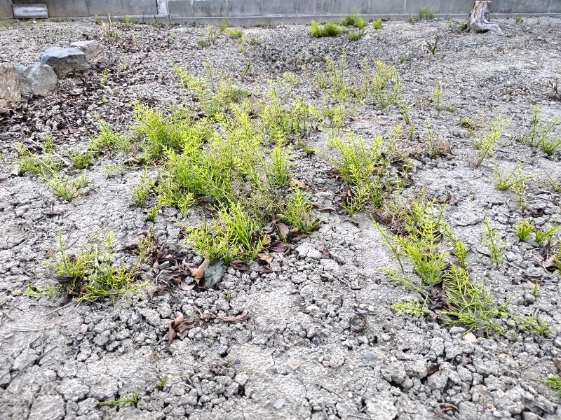 除草剤の効果 2019年4月-春-「裏庭」スギナだらけ -7-
