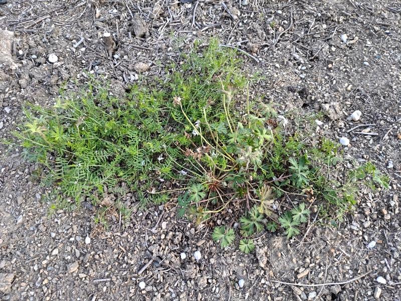 除草剤の効果 2019年4月-春-「前庭」 -3-