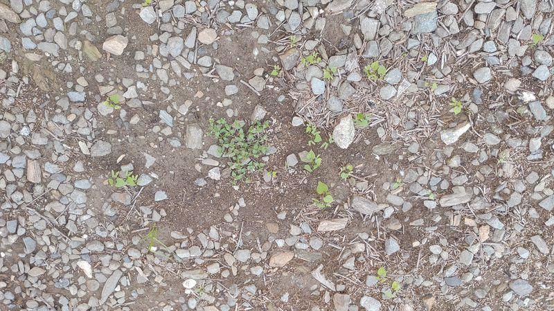 除草剤の効果 夏・お盆休み期間 -3-