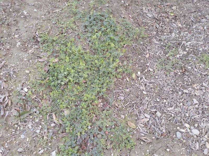 除草剤の効果 2020-01 -8-