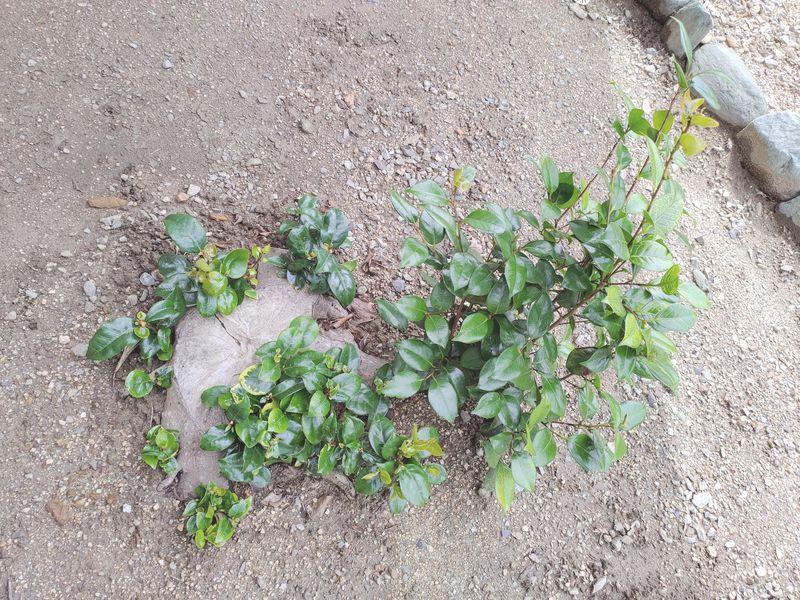 コロナに負けない除草対策 梅雨時期の除草剤の効果 -15-