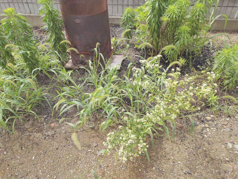 コロナに負けない除草対策 梅雨時期の除草剤の効果 -6-