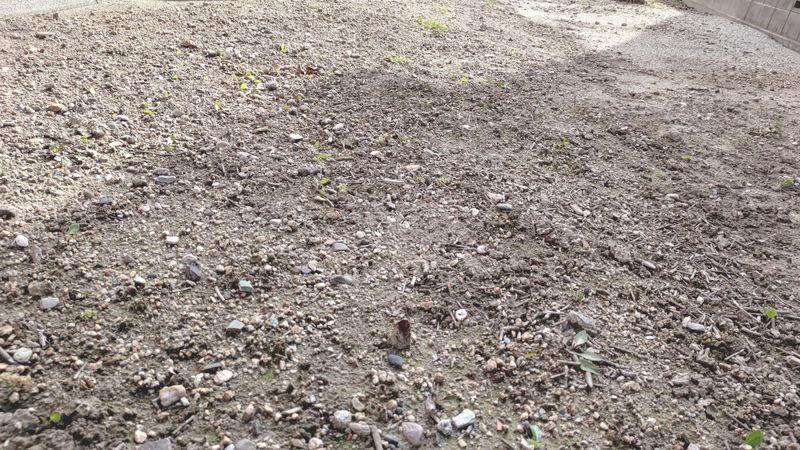2021年1月の除草剤の効果P_20210105_122434