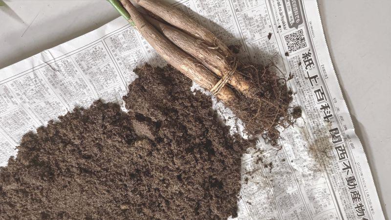 パキラの植え替え 時期 寿命 風水 13