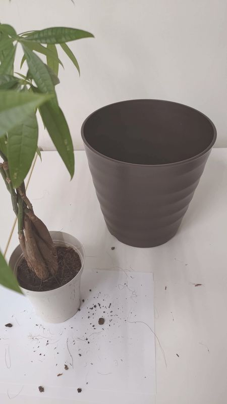 パキラの植え替え 時期 寿命 風水 06