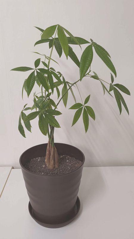 パキラの植え替え 時期 寿命 風水 15