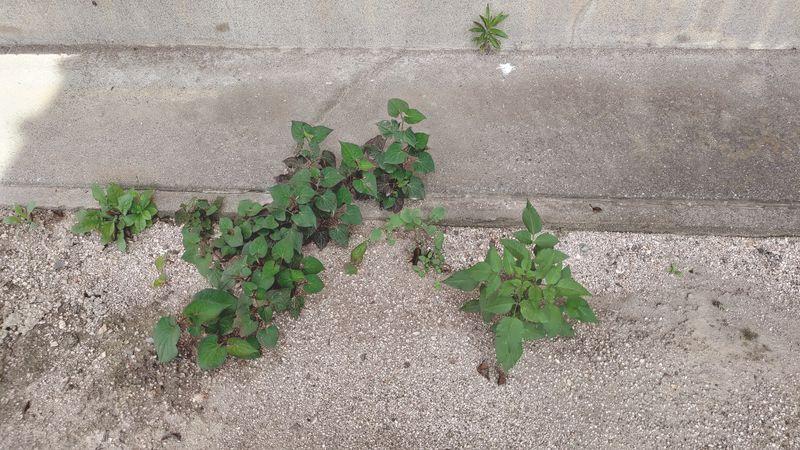 除草剤の効果 梅雨から夏前4