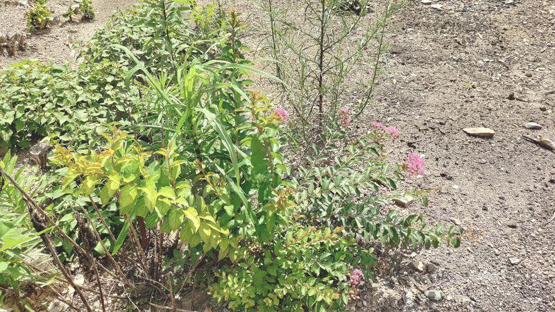 除草剤の効果 梅雨から夏前11