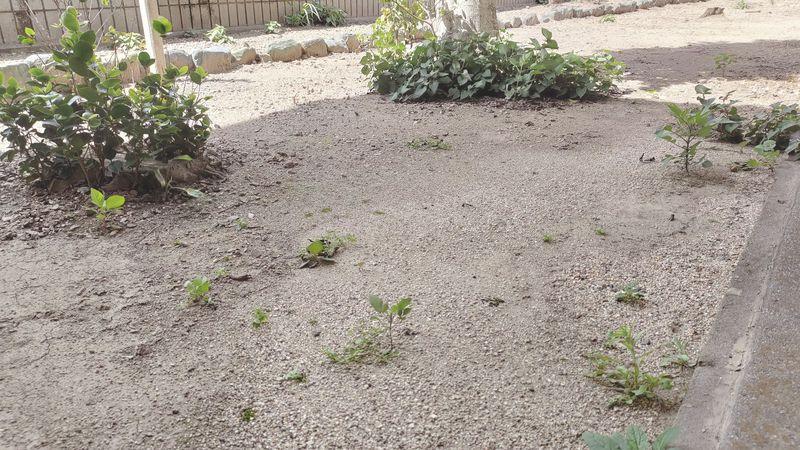 除草剤の効果 梅雨から夏前2