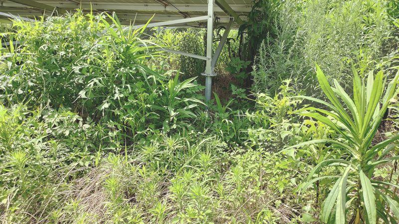 除草剤の効果 梅雨から夏前8
