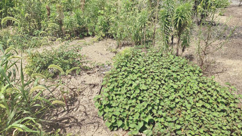 除草剤の効果 梅雨から夏前15