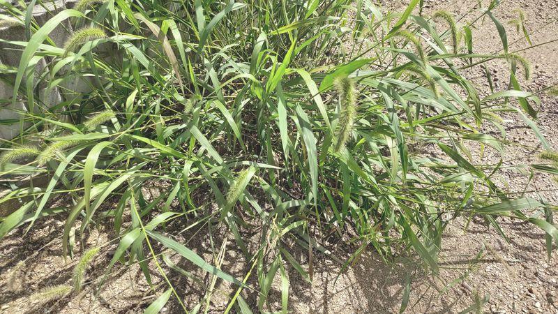 除草剤の効果 梅雨から夏前14